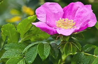 Nalewka z dzikiej róży