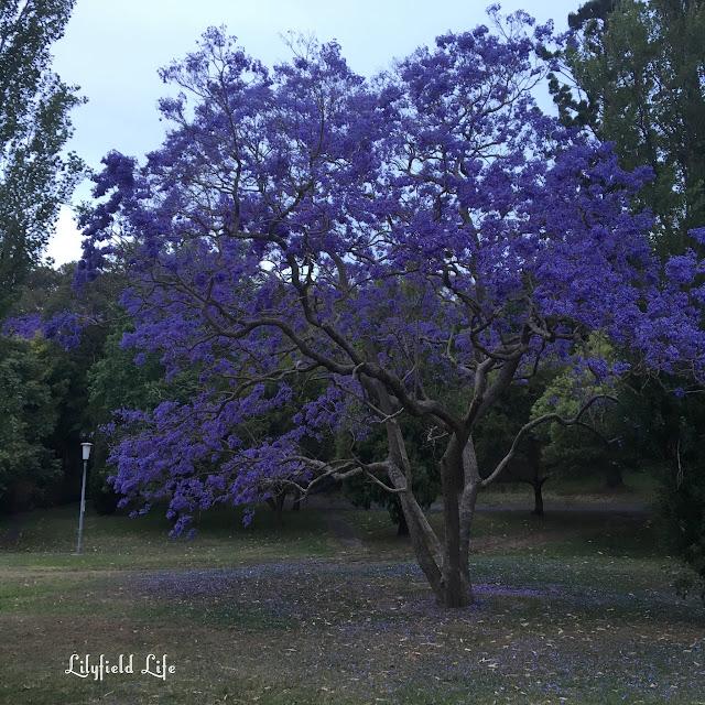 jacaranda in callan park