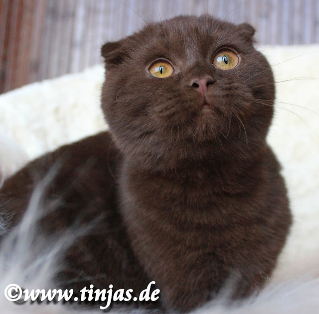Scottish Fold ,weiblich 4 Monate  chocolate