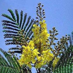 paisajista laila huber 193rboles nativos peltophorum