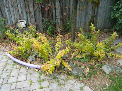 Fall Cleanup Before in a Don Mills Toronto Backyard by Paul Jung Gardening Services--a Toronto Gardening Services Company