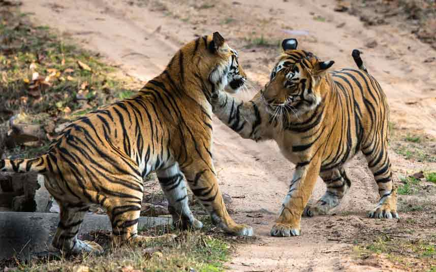 Câu chuyện ý nghĩa về Hai con Hổ