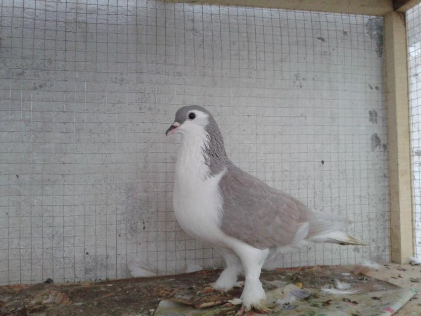 fancy pigeons Lahore | Pets, Animals, Birds and Pigeons for