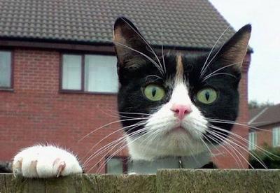 Merakli-Kedi