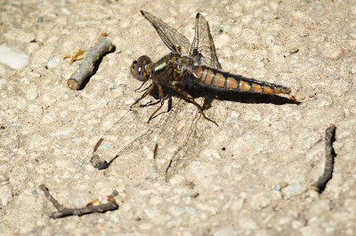 Variegated Meadowhawk, Hagerman NWR