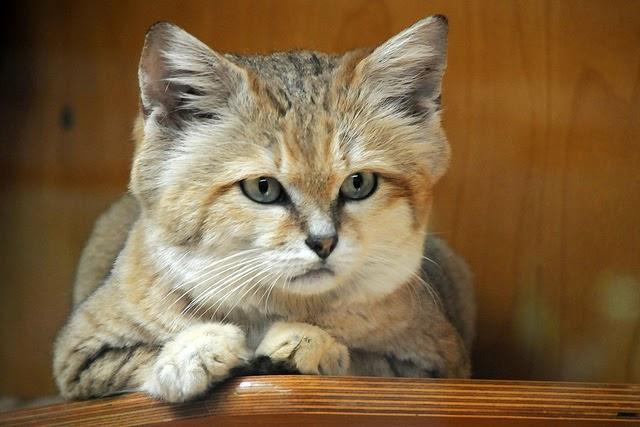 the sand cat desert cat extraordinaire the ark in space