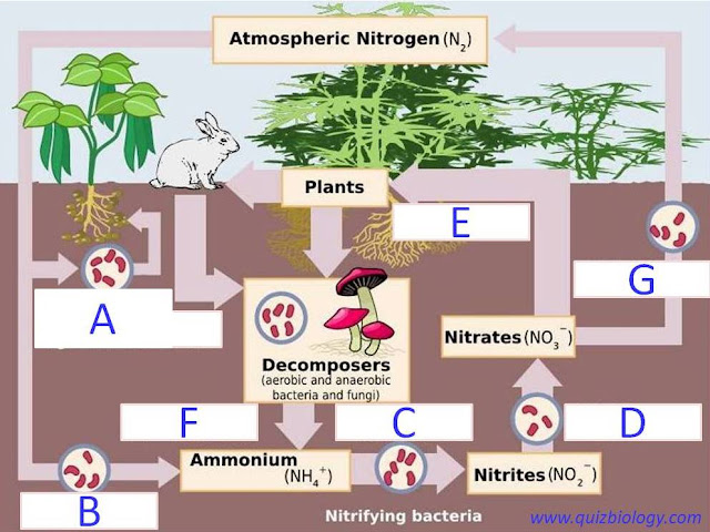 Nitrogen cycle diagram quiz