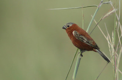 argentinian birds Chestnut Seedeater