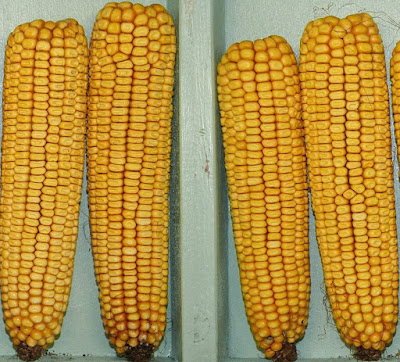 Photo of the Dent corn
