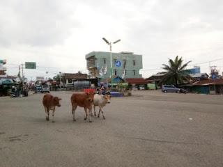 Pol PP Terkesan Biarkan Hewan Berkeliaran Dipusat Kota
