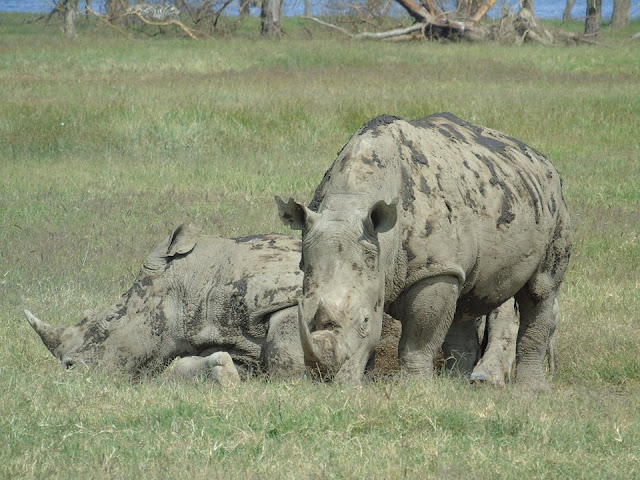 Rhinos masai mara