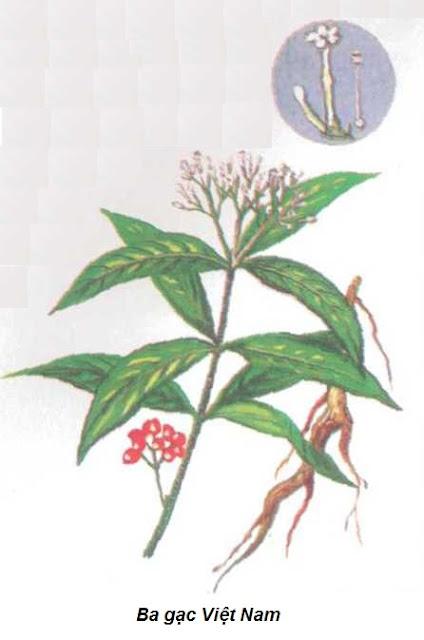 Ba gạc-Rauwolfia verticillata-Nguyên liệu làm thuốc Hạ Huyết Áp