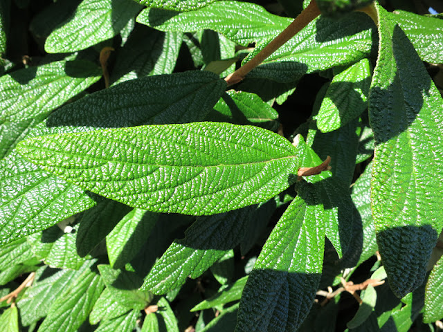Green leaves with deep indentations in bright sunlight