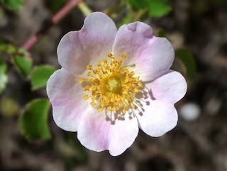 hoa hồng tầm xuân cánh đơn