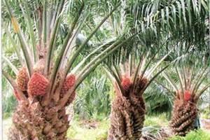 Lowongan Kerja Pekanbaru : Perusahaan Perkebunan Sawit September 2017