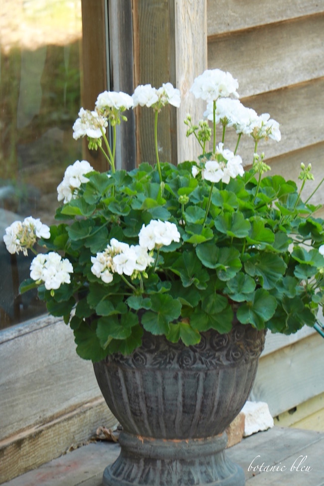 white-geraniums-black-french-design-pot
