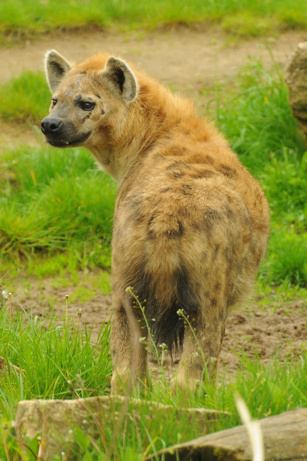 Image of: Spotted Hyenas Picture Of Hyena About Wild Animals Why Hyena Is The Most Misunderstood Wild Animal About Wild Animals