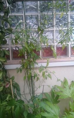 Chilipepparplantan som den ser ut idag