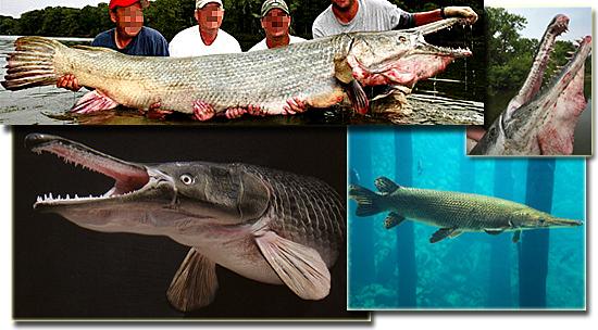 5 terríveis animais de água doce - Aligattor gar
