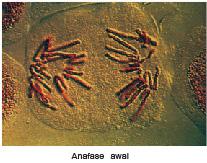 anafase pembelahan mitosis