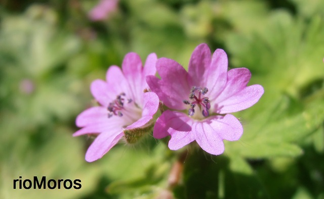 Flores de GERANIO DE LOS CAMINOS Geranium molle