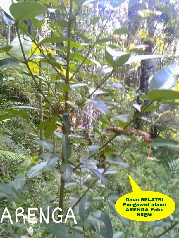 daun selatri pengawet nira alami
