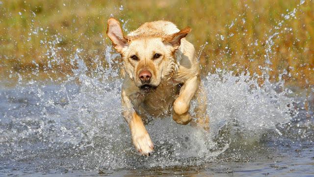 Hond rent door het water