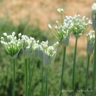 Allium Family