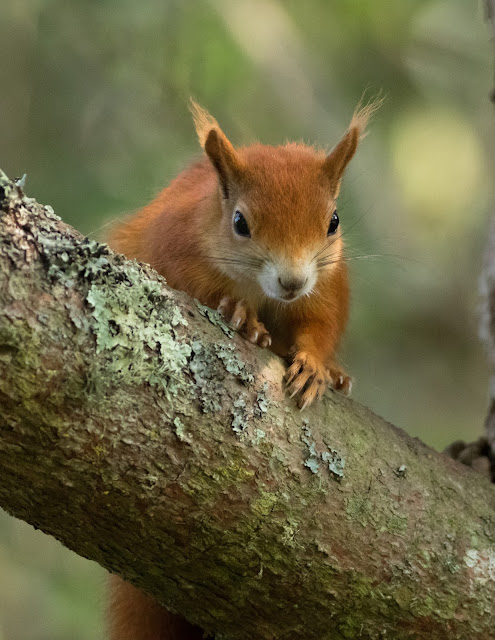 Red Squirrel - Tresco, Scilly