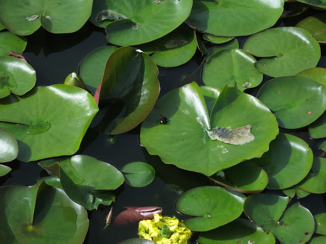 Large, glossy green water-lily leaves cover surface of pond in park.
