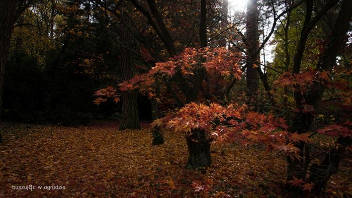 arboretum, rogów, klony