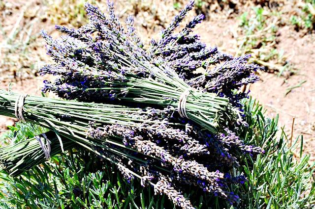 lavender field, harvested lavender