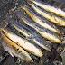 Peluang Usaha Ikan Gabus yang Mudah