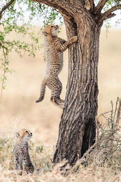 Young cheetah cub watching sibling climb acacia tre