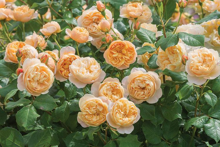 Rosa Roald Dahl David Austin Roses