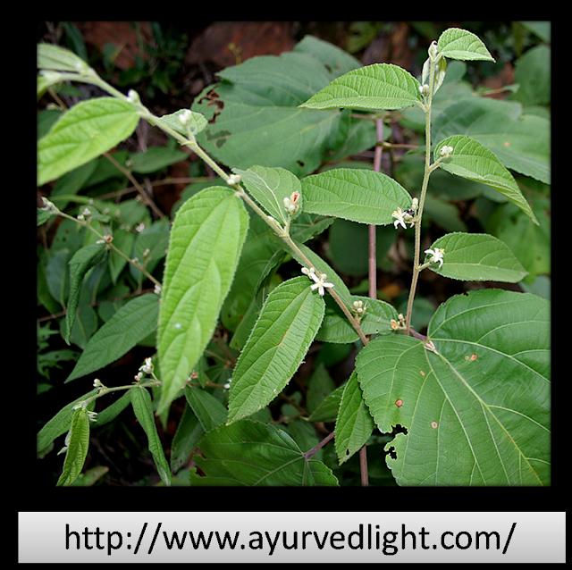 नागबला - एक सर्वोत्कृष्ट औषधि- Nagbala- An Excellent ayurvedic medicine