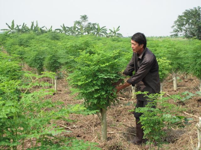 Cây Chùm Ngây và công dụng tốt cho sức khoẻ của cây Moringa (1)