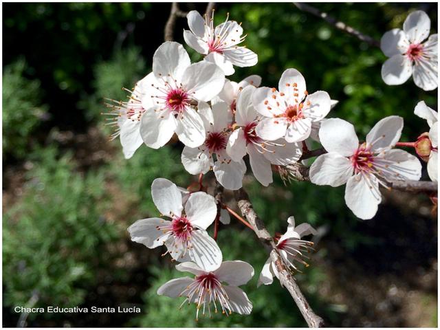 Flores del ciruelo de jardín - Chacra Educativa Santa Lucía