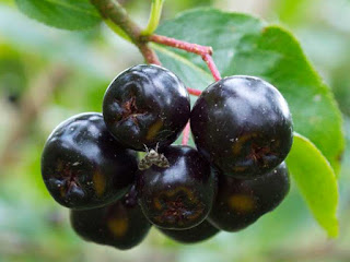 chokeberry fruit images