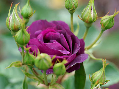 Purple Rose Normal Resolution HD Wallpaper 2