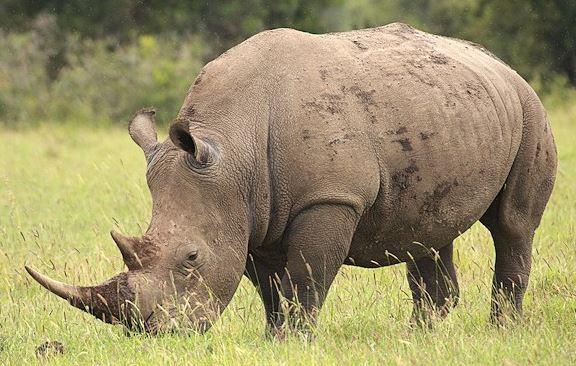 Rhinocéros blanc corne