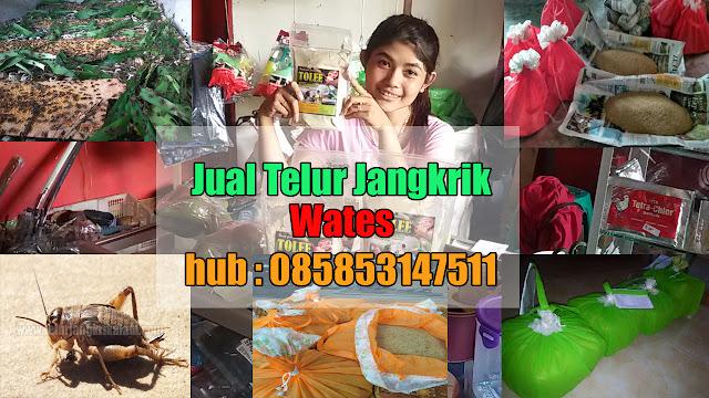 Jual Telur Jangkrik Wates Hubungi 085853147511