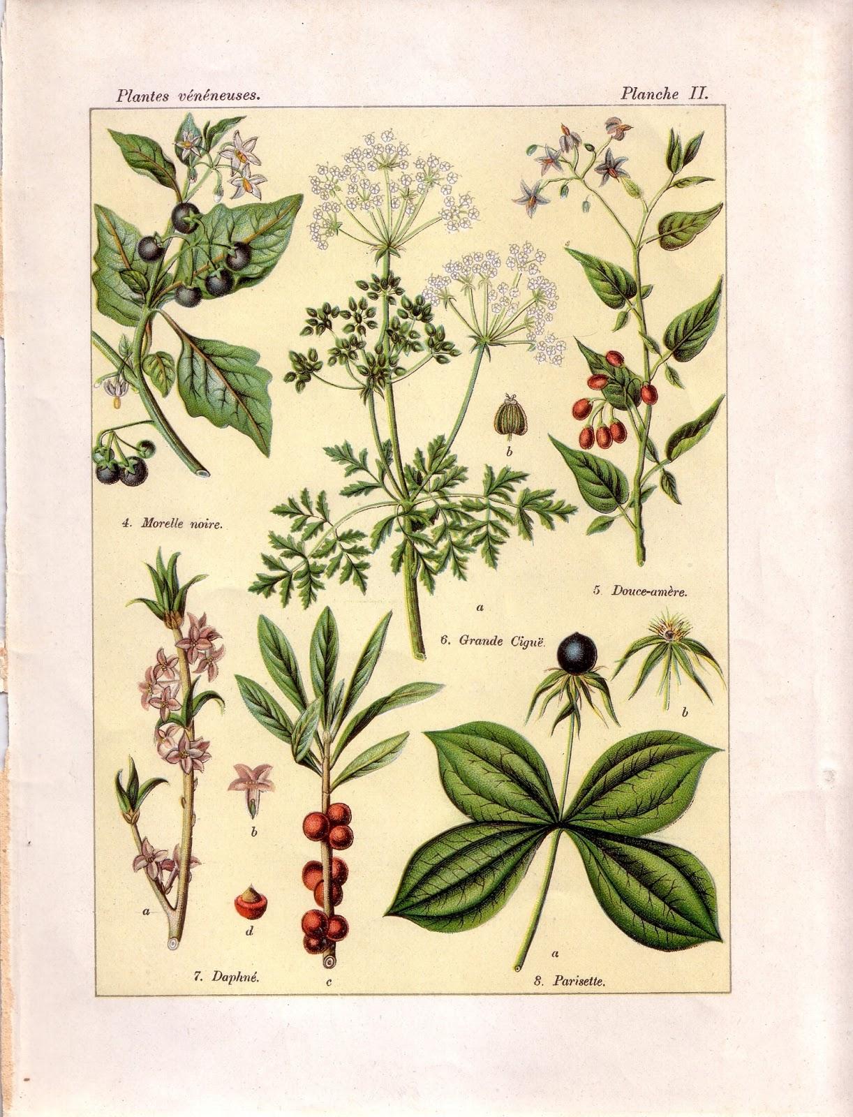 pharmacop e naturelle plantes m dicinales sauvages. Black Bedroom Furniture Sets. Home Design Ideas