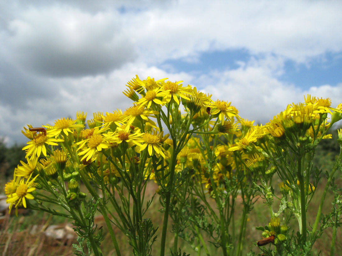 All About Ragwort Horse Care