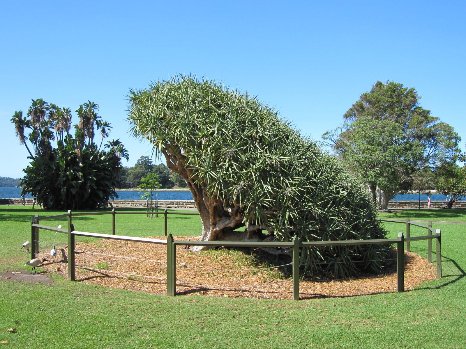 Sydney City And Suburbs Botanic Gardens Tree