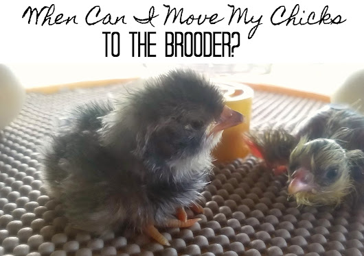 When Can I Move my Chicks to the Brooder from the Incubator?