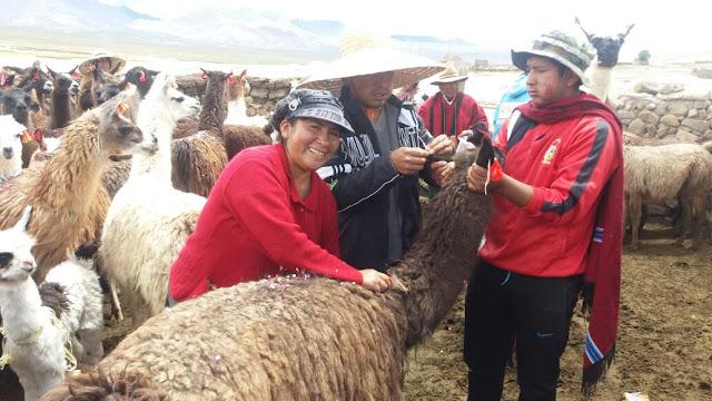 Lamas, die geschmückt werden