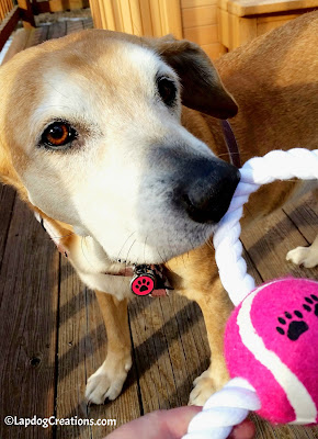 Sophie thinks the #DukesFigure8RopeToy she found in her #SurpriseMyPet box is awesome - and it's PINK! #JoinThePawty and get a box for your dogs. SAVE 15% with #coupon code LAPDOG - #LapdogCreations ©LapdogCreations