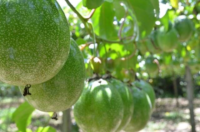 Fruta de la pasión o mburukuja