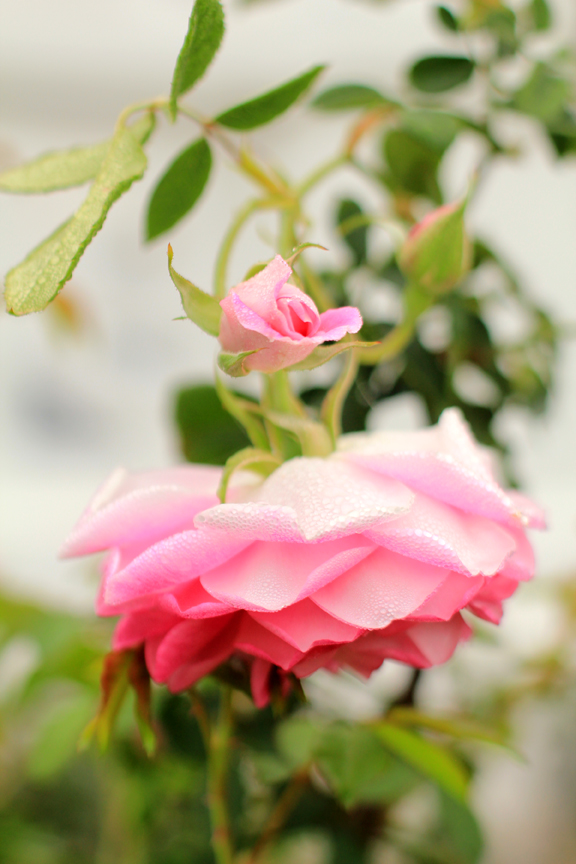 Misty Morning Roses Photo